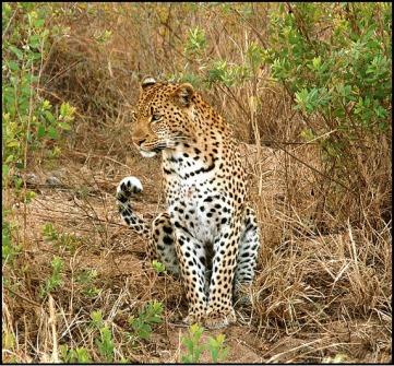 manada-leopardo