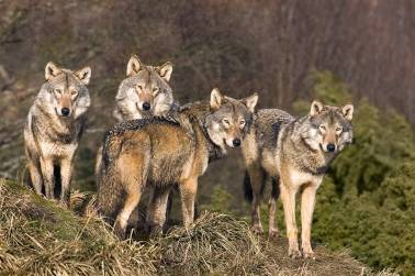 manada-lobos