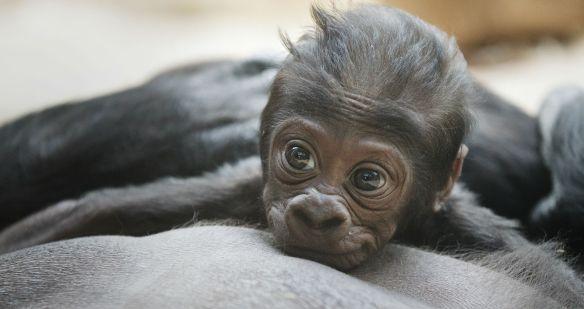bebe-gorila-6-ancha