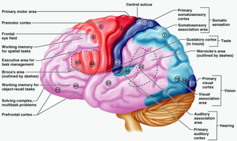 cerebro areas